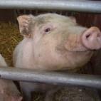pig sq
