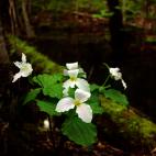 trillium-week-new-england-wildflower-sq