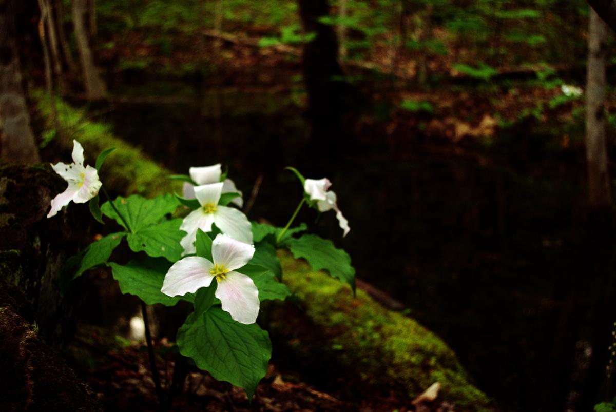 trillium week new england wildflower society