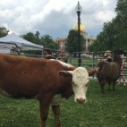 cow sq