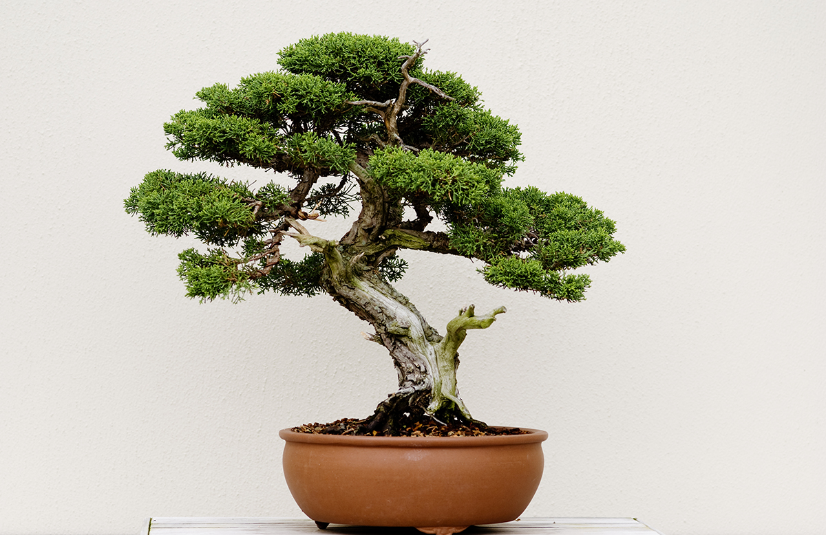 a guide to bonsai in boston. Black Bedroom Furniture Sets. Home Design Ideas