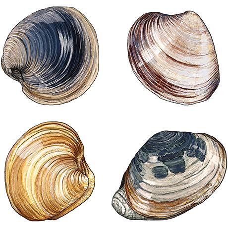 clam digging massachusetts sq
