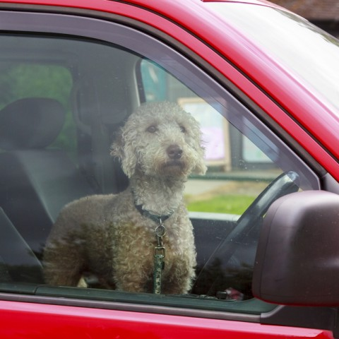 An intent dog waiting for his owner in a car