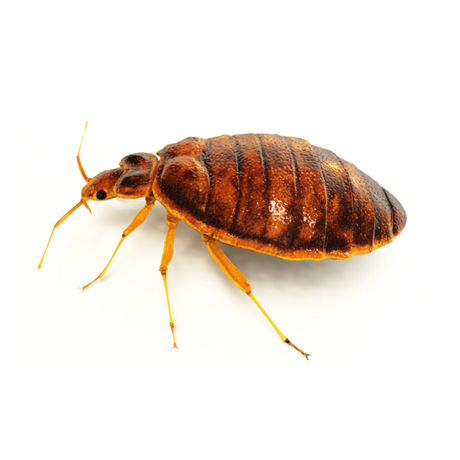 bed bug square