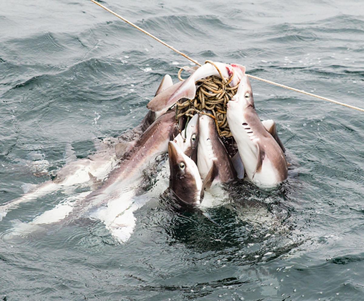 dogfish 4