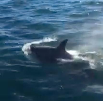 killer whales chatham sq