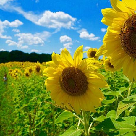 sunflower-fields-sq