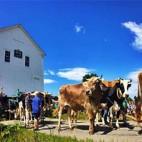 vermont-oxen-schoolhouse-sq