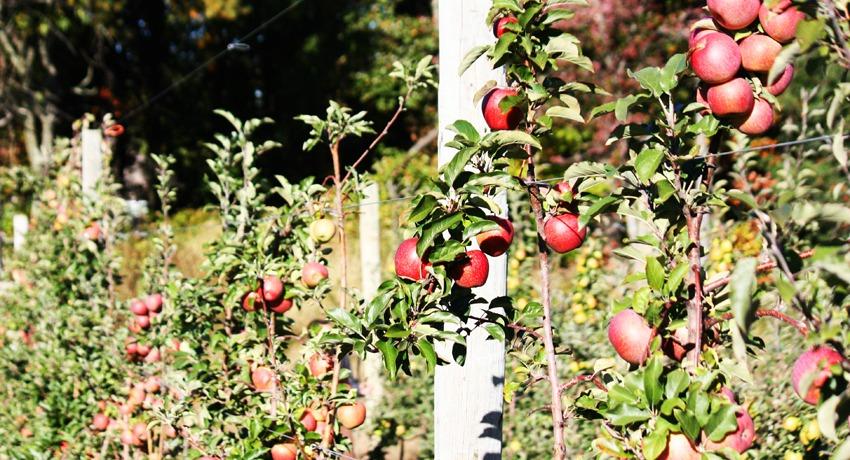 apples sm