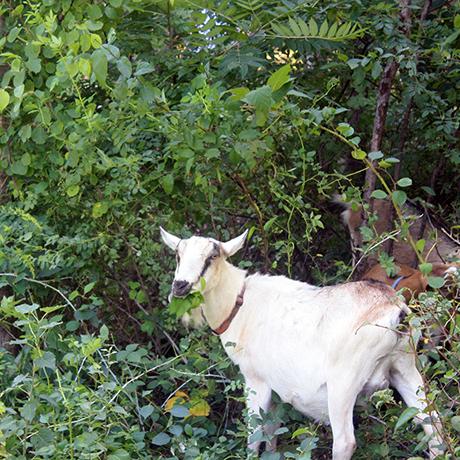 arboretum-goat-sq