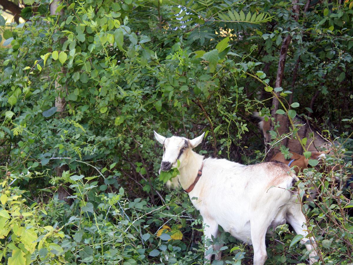 arboretum goats