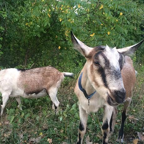 arboretum-goats-sq