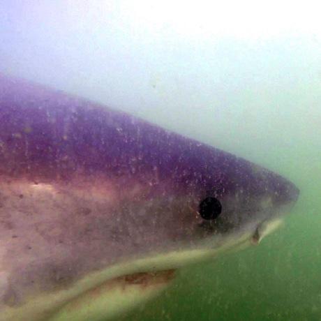 big papi shark sq