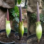 corpse flower sq