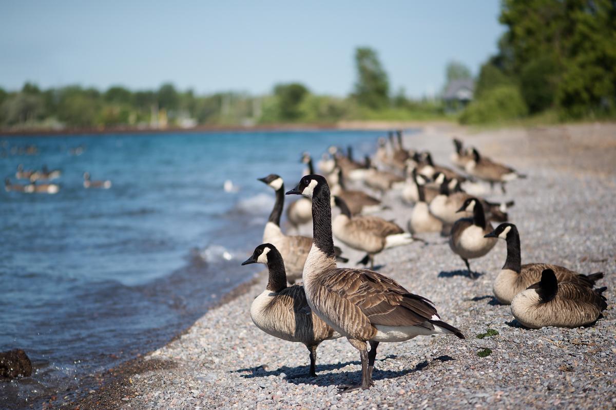 canada goose name change