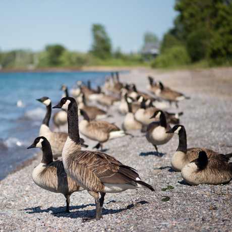 Group of Canada geese standing on the beach.