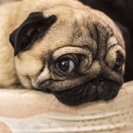 sad sorry guilty offending dog pug pet