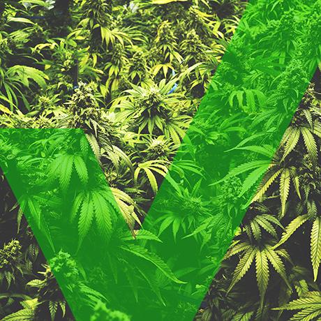 marijuana massachusetts yes sq