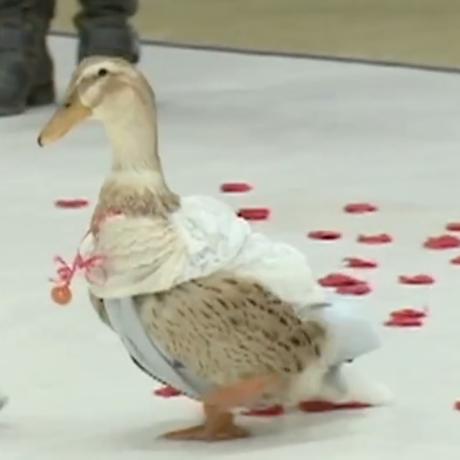 new hampshire ducks sq