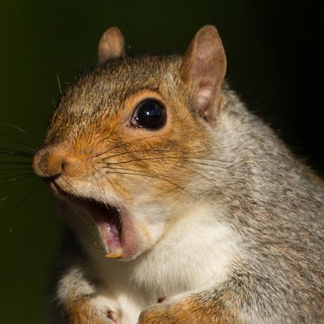 pizza squirrel sq