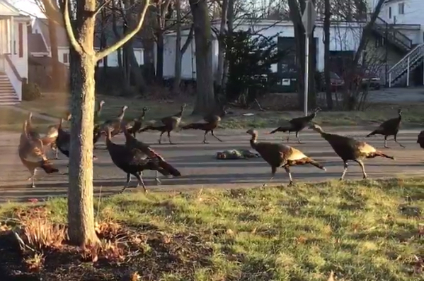 Flock of Turkeys Circle Dead Cat in Weird Ritualistic Dance