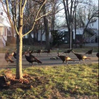 turkeys and cat sq