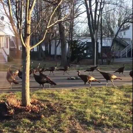 turkeys and cat sq