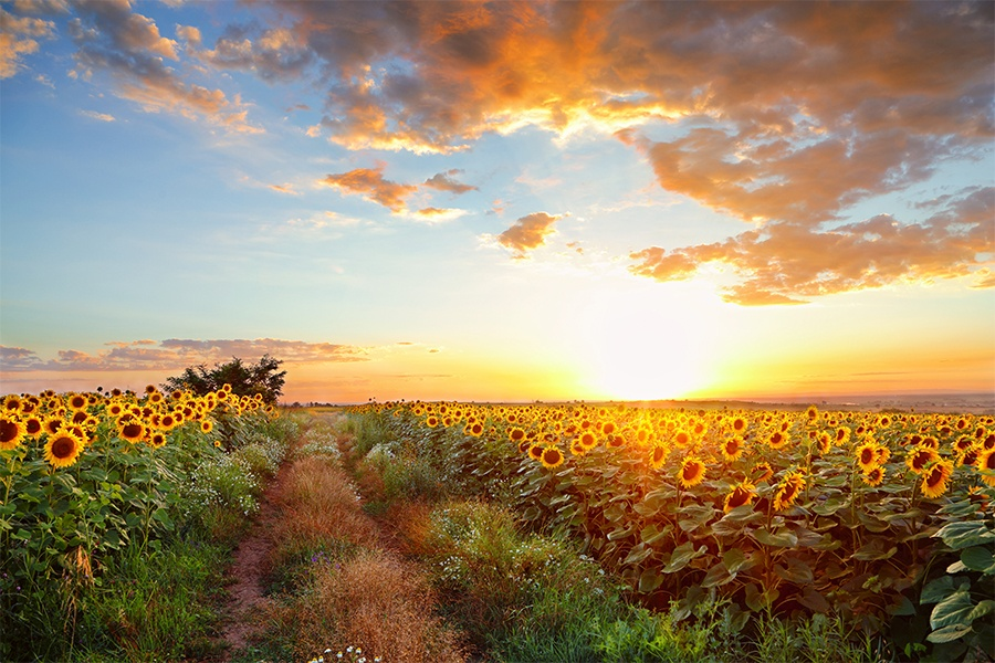 Five Sunflower Fields To Visit In New England