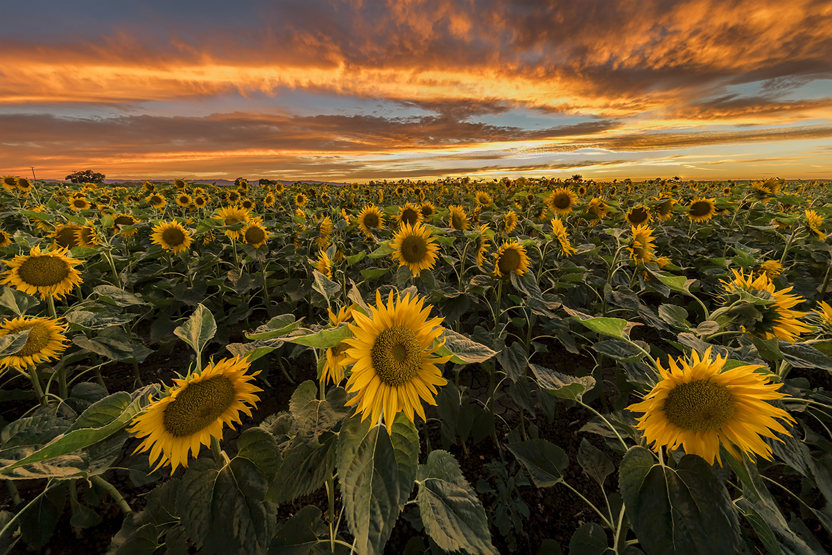 Five Sunflower Fields To Visit In New England Boston