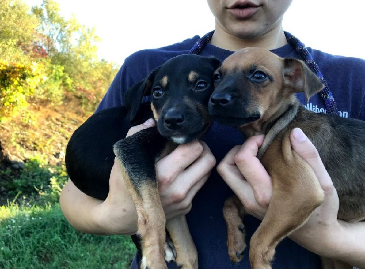 Puppies Rescued from Puerto Rico Are up for Adoption in Massachusetts